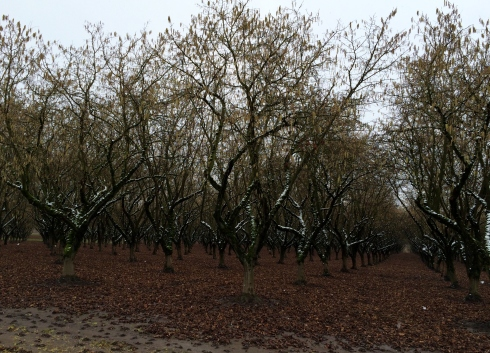 Hazelnut Trees & Snow