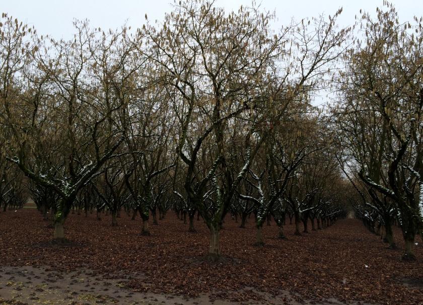 Hazelnut Trees & Snow