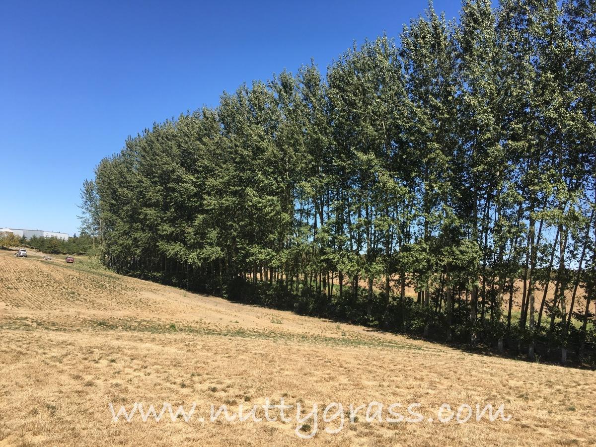 Crop #12, PoplarTrees